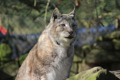 Eurasian lynx on rock Royalty Free Stock Photography