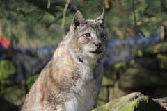 Eurasian lynx on rock Royalty Free Stock Photography