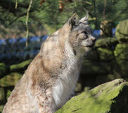 Eurasian lynx on rock Stock Photos