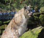 Eurasian lynx on rock Stock Photos
