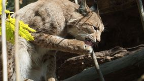 Eurasian Lynx stock video footage