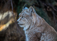 Eurasian lynx. Side profile view close up Stock Images