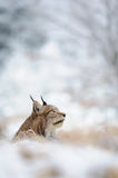 Eurasian lynx sitting on ground in winter time Stock Photo