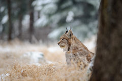 Eurasian lynx sitting on ground in winter time on yellow grass Royalty Free Stock Images