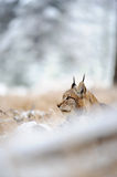 Eurasian lynx sitting on ground in winter time Royalty Free Stock Photography