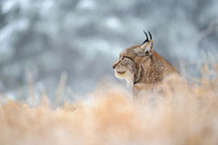 Eurasian lynx sitting on ground in winter time Royalty Free Stock Photos