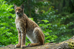 A Eurasian Lynx sitting. On a tree branch at Devon& x27;s Escot park Royalty Free Stock Images