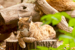 Eurasian lynx sitting on a tree stump Stock Photo