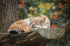 Eurasian lynx sleeping on a tree Stock Photography