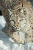 A Eurasian Lynx in Snow Royalty Free Stock Photography