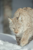 A Eurasian Lynx in Snow Stock Photography