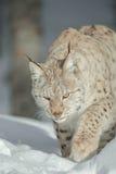 A Eurasian Lynx in Snow Stock Photography