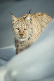 A Eurasian Lynx in Snow Royalty Free Stock Image