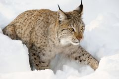 Eurasian lynx in the snow in cold winter in Troms county, Norway. Royalty Free Stock Image