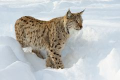 Eurasian lynx in the snow in cold winter in Troms county, Norway. Stock Photos