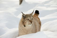 Eurasian lynx in the snow in cold winter in Troms county, Norway. Stock Images