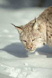 A Eurasian Lynx in Snow Royalty Free Stock Images