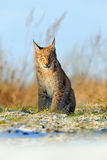 Eurasian Lynx on snow meadow in winter Royalty Free Stock Photography