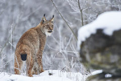 Eurasian lynx in Snow Royalty Free Stock Image