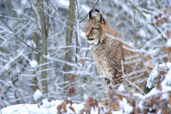 Eurasian lynx in Snow Stock Images