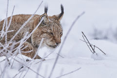 Eurasian lynx in Snow Royalty Free Stock Images
