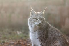 Eurasian Lynx in soft light. Beautiful close up soft portrait of a Eurasian lynx Lynx lynx Stock Image