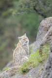 Eurasian lynx on top of a rock Royalty Free Stock Photo