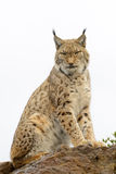 Eurasian lynx on top of a rock Stock Images