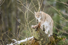 Eurasian lynx on top of a rock. Eurasian Lynx (Lynx lynx) staking on dead tree in bushes, looking at camera, Germany Royalty Free Stock Image