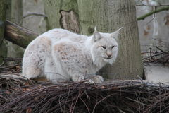 A eurasian lynx. On a tree Royalty Free Stock Images