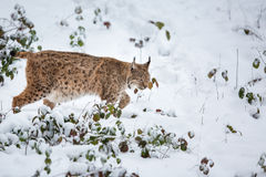 Eurasian Lynx  walking quietly in snow Royalty Free Stock Photo