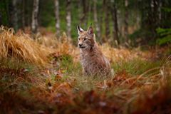 Free Eurasian Lynx Walking. Wild Cat From Germany. Bobcat Among The Trees. Hunting Carnivore In Autumn Grass. Lynx In Green Forest. Stock Image - 136809961