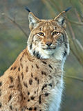 Eurasian Lynx watching Royalty Free Stock Photos