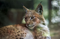 Eurasian lynx. The Eurasian lynx (Lynx lynx) is a wild cat in Europe and Siberia Stock Photography