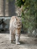 Eurasian lynx Lynx lynx wild cat occurring from Northern, Central and Eastern Europe to Central Asia and Siberia, the Tibetan stock photos