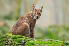 Eurasian Lynx, wild cat sitting on the orange leaves in the forest habitat. Eurasian Lynx, wild cat sitting on the orange leaves Stock Images