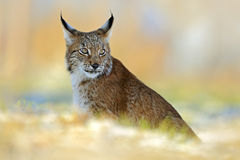 Eurasian Lynx, wild cat on snow meadow in winter Royalty Free Stock Image
