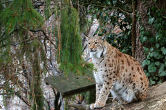 Eurasian Lynx ( wild cat with spots ) sitting on a wood log. A big Eurasian Lynx ( wild cat with spots ) sitting on a wood log during winter in Europe Royalty Free Stock Photo