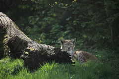 Eurasian Lynx Stock Photos