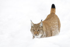 Eurasian lynx in winter forest Royalty Free Stock Images