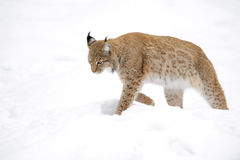 Eurasian lynx in winter forest Royalty Free Stock Photo