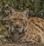 Eurasian lynx in ZOO Decin in winter Stock Photography