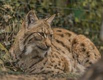 Eurasian lynx in ZOO Decin in winter Royalty Free Stock Images
