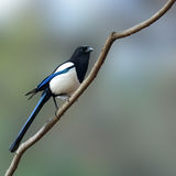 Eurasian magpie bird Stock Photo