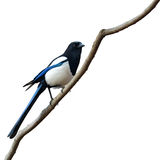 Eurasian magpie bird Royalty Free Stock Images