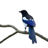 Eurasian magpie bird Royalty Free Stock Photos
