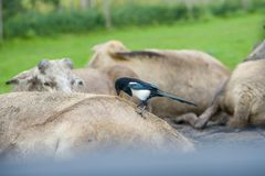 Eurasian magpie bird sitting on buffalos royalty free stock photography
