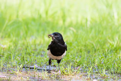 Eurasian Magpie eating earthworm. On green grass Royalty Free Stock Image