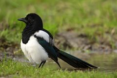 Eurasian Magpie, Ekster, Pica pica. Eurasian Magpie taking a bath in pool Netherlands, Ekster badderend in poel Nederland royalty free stock images