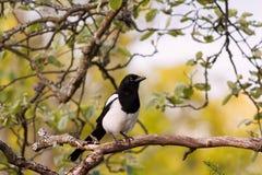 Eurasian magpie, European magpie, or common magpie (Pica pica) Royalty Free Stock Photos